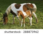 Foal And Mare Horses  White...