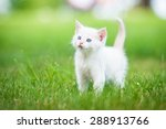 Adorable White Kitten With Blu...