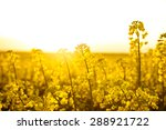 Blooming Rapeseed Field At...