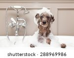 Stock photo a cute little terrier breed dog taking a bubble bath with his paws up on the rim of the tub 288969986