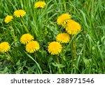 Dandelions In The Meadow....
