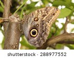 Forest Giant Owl Butterfly  Or...