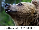 The Muzzle Of A Brown Bear On ...