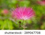 blooming mimosa tree  albizia... | Shutterstock . vector #289067708