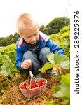 child picking strawberries | Shutterstock . vector #289225976
