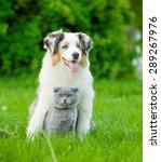 Australian Shepherd Puppy And...