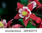 Rose Queen Aquilegia caerulea - stock photo