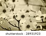Dogwood blossoms in sepia tones - stock photo