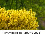 Blooming Forsythia Hedge