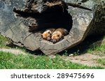 Two Bush Dogs Sleeping In The...