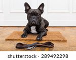 Stock photo french bulldog dog waiting and begging to go for a walk with owner sitting or lying on doormat 289492298