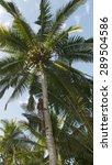 Man Climbing A Coconut Palm...