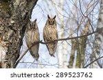 Two Long Eared Owls On Birch...