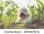 Coton De Tulear Summer Portrait
