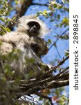 Small photo of velvet monkey(Cercopithecus aethiops) and baby, location Southern Africa, Botswana