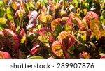 codiaeum variegatum or garden...   Shutterstock . vector #289907876