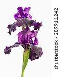 Two Violet Iris Flowers...