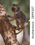 Small photo of baby velvet monkey(Cercopithecus aethiops), location Southern Africa, Botswana