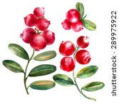watercolor cowberries on white... | Shutterstock . vector #289975922