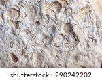 Coquina Background Old Fossil...