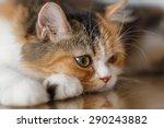 Tri  Three Colored Persian Cat...