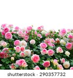 Stock photo climbing pink roses on white background 290357732