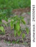 pepper growing in the garden | Shutterstock . vector #290550965
