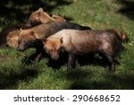 Bush Dog  Speothos Venaticus ...