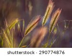 grass spikelet on the field at... | Shutterstock . vector #290774876