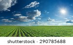 Rows Of Green Soybeans Against...