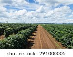 coffee plantation. | Shutterstock . vector #291000005
