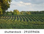 rows of soybeans in a minnesota ... | Shutterstock . vector #291059606