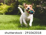 Stock photo terrier playing with a colourful ball 291062018