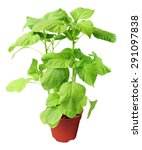 Spinach Green Leaf Small...
