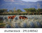 horses at agave field for... | Shutterstock . vector #291148562