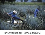 tequila  jalisco  mexico  ... | Shutterstock . vector #291150692