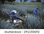 tequila  jalisco  mexico  ... | Shutterstock . vector #291150692