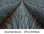 agave field for tequila...   Shutterstock . vector #291154466