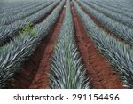 agave field for tequila... | Shutterstock . vector #291154496