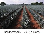 agave field for tequila...   Shutterstock . vector #291154526