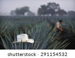 agave field for tequila...   Shutterstock . vector #291154532