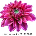 Pink Colored Dahlia Flower...