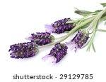 lavender | Shutterstock . vector #29129785
