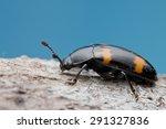 macro image of a fungus beetle | Shutterstock . vector #291327836