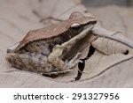 macro image of a hyalrna frog ... | Shutterstock . vector #291327956