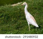 A Cattle Egret Walking Through...