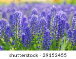 Muscari Armeniacum Or Grape...