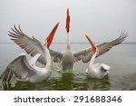 dalmatian pelican | Shutterstock . vector #291688346