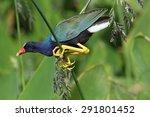 purple gallinule in natural... | Shutterstock . vector #291801452