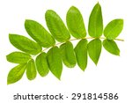 juglans mandshurica leaves... | Shutterstock . vector #291814586